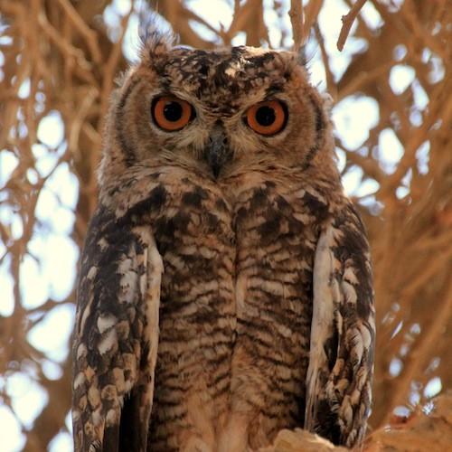 Owl Sossusvlei Namibia