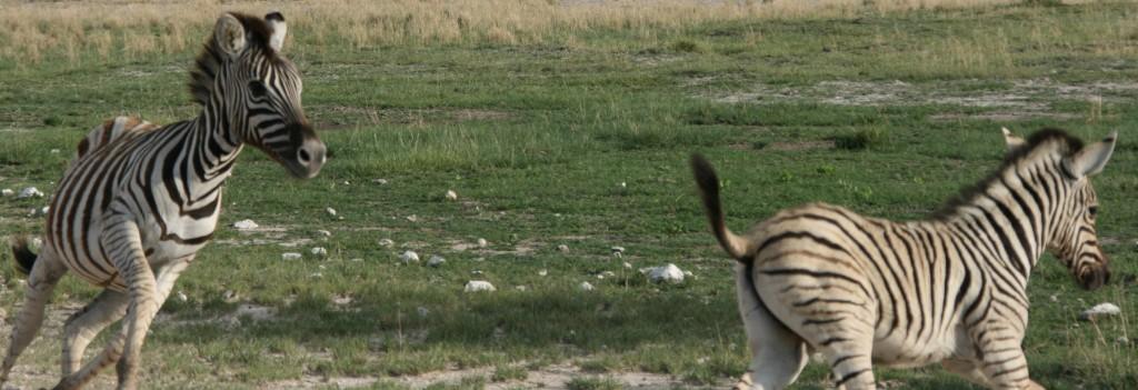 Stoeiende Zebra's in Etosha Namibië
