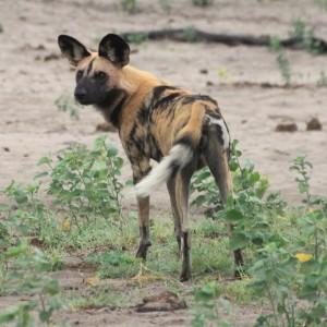 Wilddog Caprivi