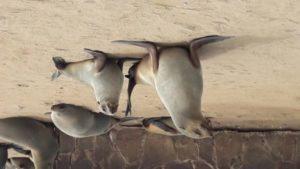 Seal Henties Bay2