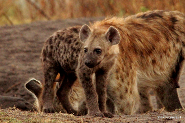 Zambia Wildparken begeleide 4×4 reis