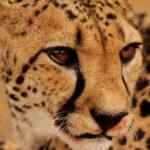 Cheetah_075